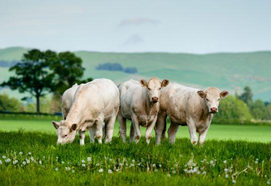 Rinderrassen in der Übersicht.